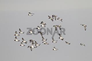 Austernfischer ist der Nationalvogel der Faeroeer Inseln und wird dort TJALDUR genannt / Eurasian Oystercatcher is the national bird of the Faroe Islands where it is called TJALDUR - (Common Pied Oystercatcher) / Haematopus ostralegus