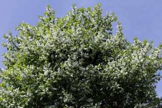 Bird cherry, Prunus padus, Traubenkirsche