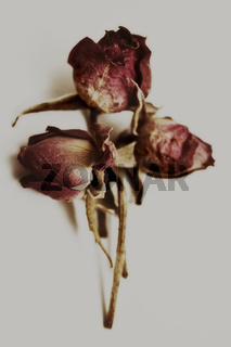 Dried flowers red rose closeup