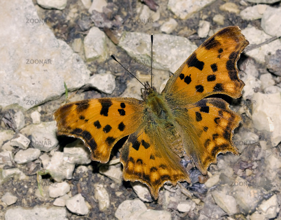 Comma butterfly Polygonia c-album, syn.