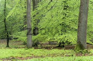 Buchen-  Eichenmischwald im Fruehling / Beech- oak mixed forest in springtime / Fagus sylvatica - Quercus robur