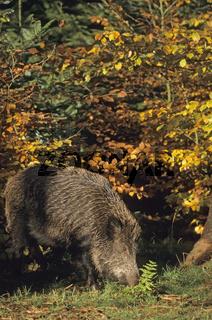 Wildschweinueberlaeufer auf Nahrungssuche - (Wildschwein - Schwarzwild) / Young Wild Boar searching for food - (Feral Pig - Wild Boar) / Sus scrofa