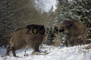 Wildschweinueberlaeufer kaempfen um die Rangordnung - (Wildschwein - Schwarzwild) / Young Wild Boar fighting for the hierachy - (Feral Pig - Wild Boar) / Sus scrofa