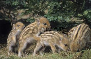 Wildschweinfrischlinge beim spielerischen Kampf um die Rangordnung - (Wildschwein - Schwarzwild) / Wild Boar shoates playfully fighting for the hierachy - (Wild Hog - Wild Boar) / Sus scrofa