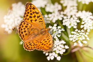 Argynnis paphia butterfly beauty