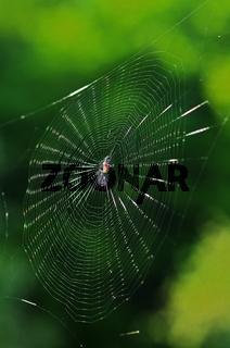 Radnetzspinne im Spinnennetz