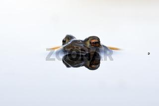 das Insekt... Erdkröte *Bufo bufo*