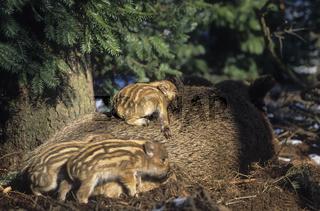 Wildschweinfrischling schlaeft auf dem Ruecken der Bache - (Schwarzwild - Wildschwein) / Wild piglet sleeping on the back of his Wild sow - (Wild Hog - Wild Boar) / Sus scrofa