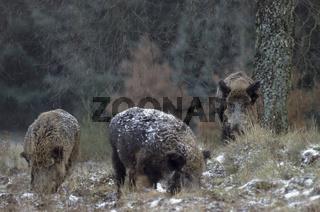 Wildschweinkeiler  Bachen in der Rauschzeit im Schneetreiben - (Schwarzwild) / Wild Boar tusker  Wild sows in the breeding season in blowing snow - (Wild Hog - European Boar) / Sus scrofa