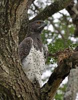 Africa:Martial Eagle