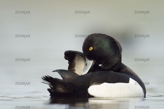 preening... Tufted Duck *Aythya fuligula*