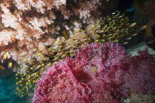 Schwarm Glasfische im Riff, Indonesien