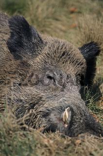 Keiler schlaeft in der warmen Fruehlingssonne - (Schwarzkittel - Wildschwein) / Boar hog sleeping in the warming sun of spring - (Wild Hog - Feral Pig) / Sus scrofa