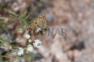 Silver-Washed Fritillary Butterfly with Broken Wing