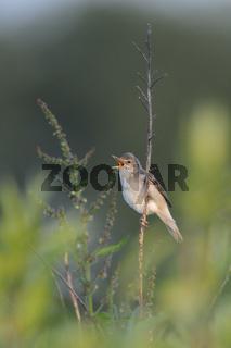 im frühen Morgenlicht... Sumpfrohrsänger *Acrocephalus palustris*