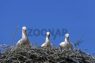 Weissstorch Altvogel und Jungvoegel auf dem Horst / White Stork adult bird and juvenile birds on the aerie / Ciconia ciconia