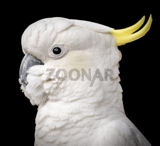 Cockatoo Isolated