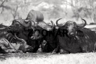 buffaloes resting at nakuru national park