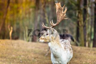 Fallow deer buck in forest