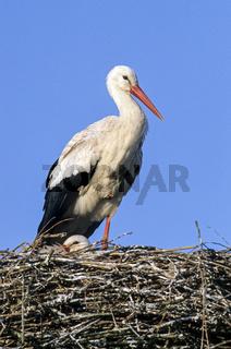 Weissstoerche auf dem Horst / White Stork adult birds on their nest / Ciconia ciconia