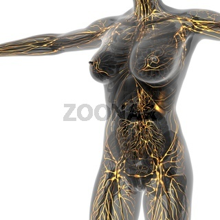 Human limphatic system with bones in transparent body
