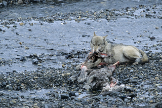 Wolf frisst am Riss eines erbeuteten Karibubullen - (Wolf - Mackenzie Wolf) / Gray Wolf feeding at a Caribou kill - (Gray Wolf - Grey Wolf) / Canis lupus - Rangifer tarandus