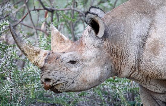 rare black rhinoceros, Diceros bicornis, Namibia