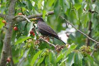 Blackbird steal the cherries