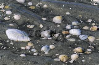 Muschelschalen im Wattenmeer / St. Peter Ording  -  Nordfriesland