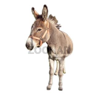 Bretagne-Esel, Eselrasse