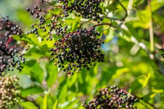 Black elderberries in green nature