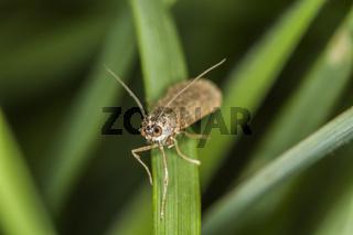 Wanderzünsler (Nomophila noctuella)