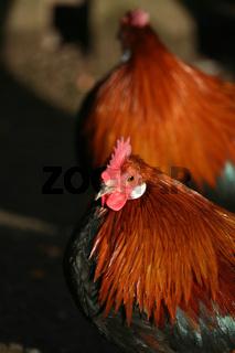Zwerg-Phönix