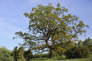 Traubeneiche, Quercus petraea, sessile oak