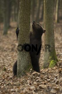 das Ziel vor Augen... Europäischer Braunbär *