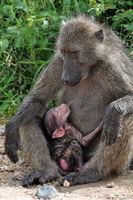 Baboon breastfeeding