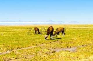 Llamas grazing at Coqueza Village