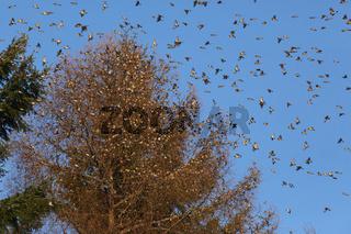 Wie Früchte im Baum, die Bergfinken