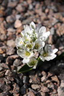 Scilla bifolia Alba, Weisses Blausternchen