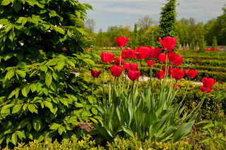 Ulmus called elm and red tulips arranged