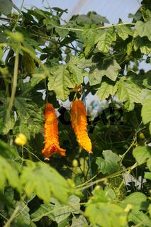 Momordica charantia, Bittergurke, Bitter cucumber