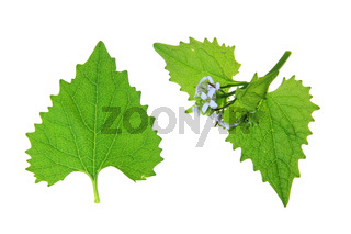 Knoblauchsrauke (Alliaria petiolata)