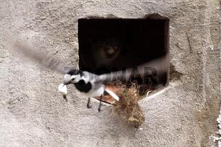 Bachstelzen-Nest (Fütterung)