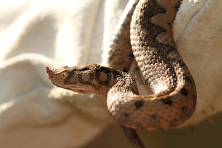 sand viper in leather glove ( Vipera ammodytes )