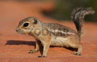 Antelope Erdhörnchen - [Ammospermophilus]