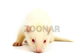 Albino ferret, lying on a white background