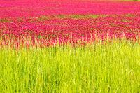 Red clover fields behind lush green grass