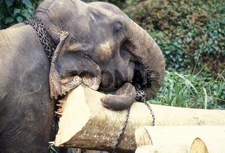 SRI LANKA NUWARA ELIYA ELEPHANT WORKING
