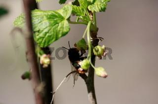 Biene an Blüte, Johannisbeere