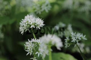 Wild garlic, ramsons, buckrams, Allium ursinum, Bärlauch